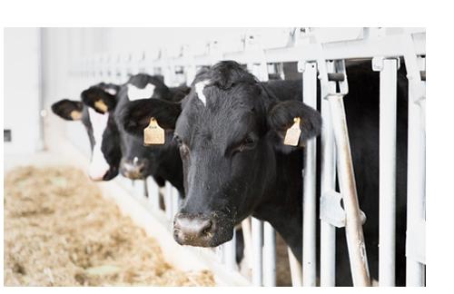 Коровы «РОТА-АГРО»