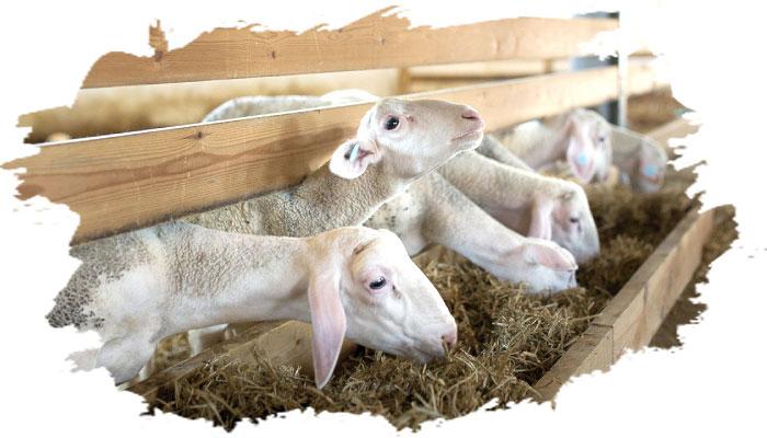 Овцы породы лакон