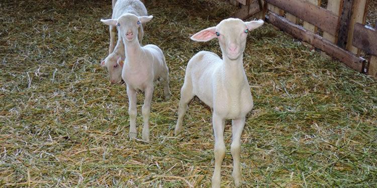 «РОТА-АГРО» увеличивает поголовье овец лакон